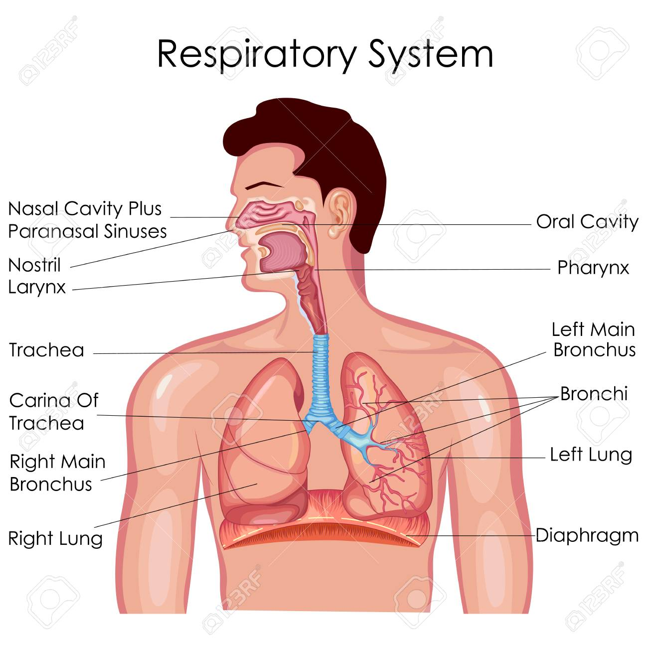 medical education chart of biology for respiratory system diagram  vector  illustration stock vector - 79651318