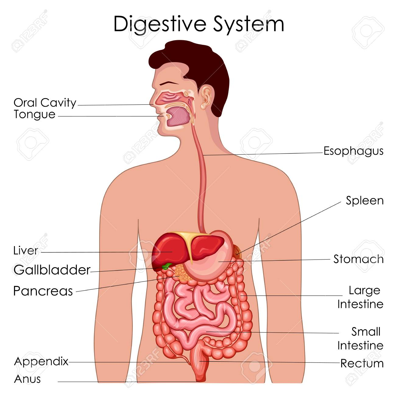 Medical Education Chart Of Biology For Digestive System Diagram ...
