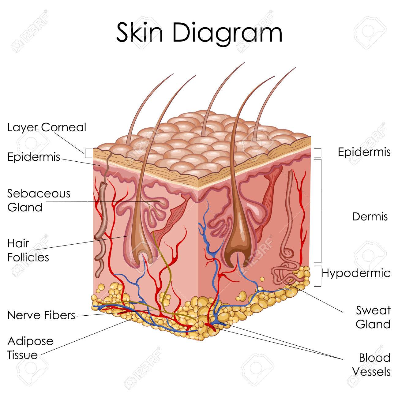 medical education chart of biology for skin diagram vector