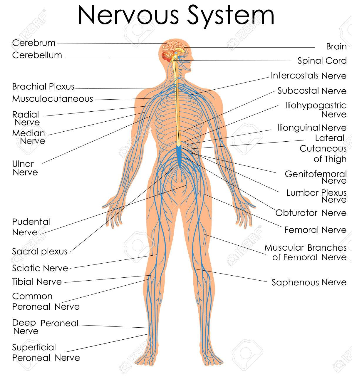 medical education chart of biology for nervous system diagram