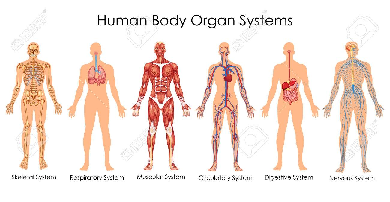 Medical education chart of biology for human body organ system diagram vector illustration stock vector