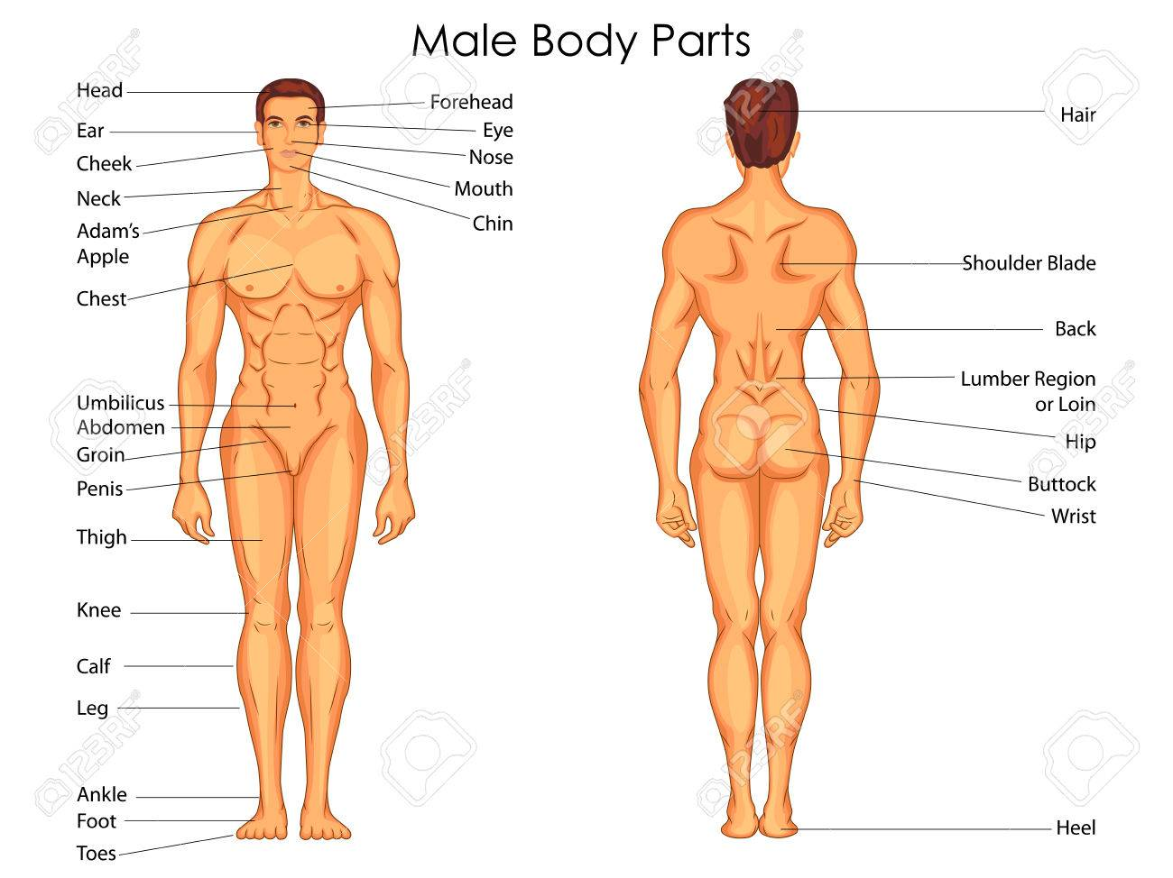 Medical Education Chart Of Biology For Male Body Parts Diagram