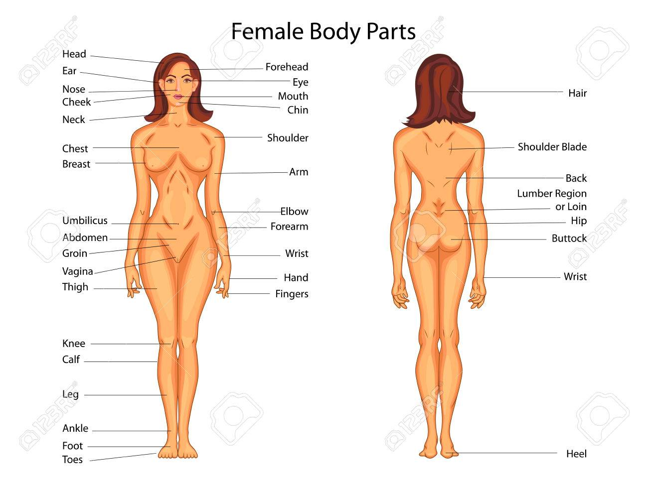 Diagrama De La Educación Médica De La Biología Para Las Partes Del ...