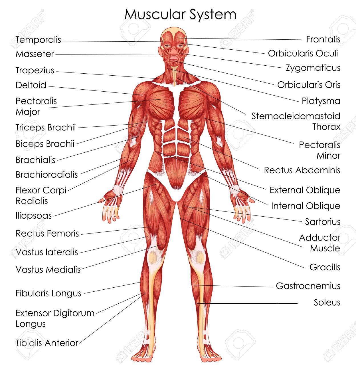 Großartig Muskeln Diagramm Fotos - Menschliche Anatomie Bilder ...