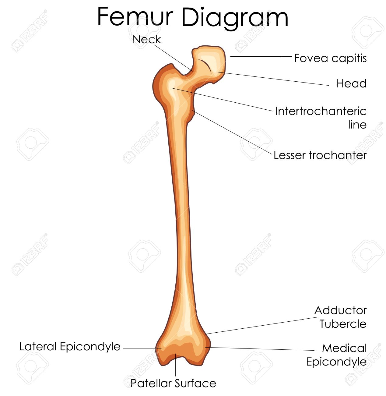 medical education chart of biology for femur bone diagram vector Hip Diagram