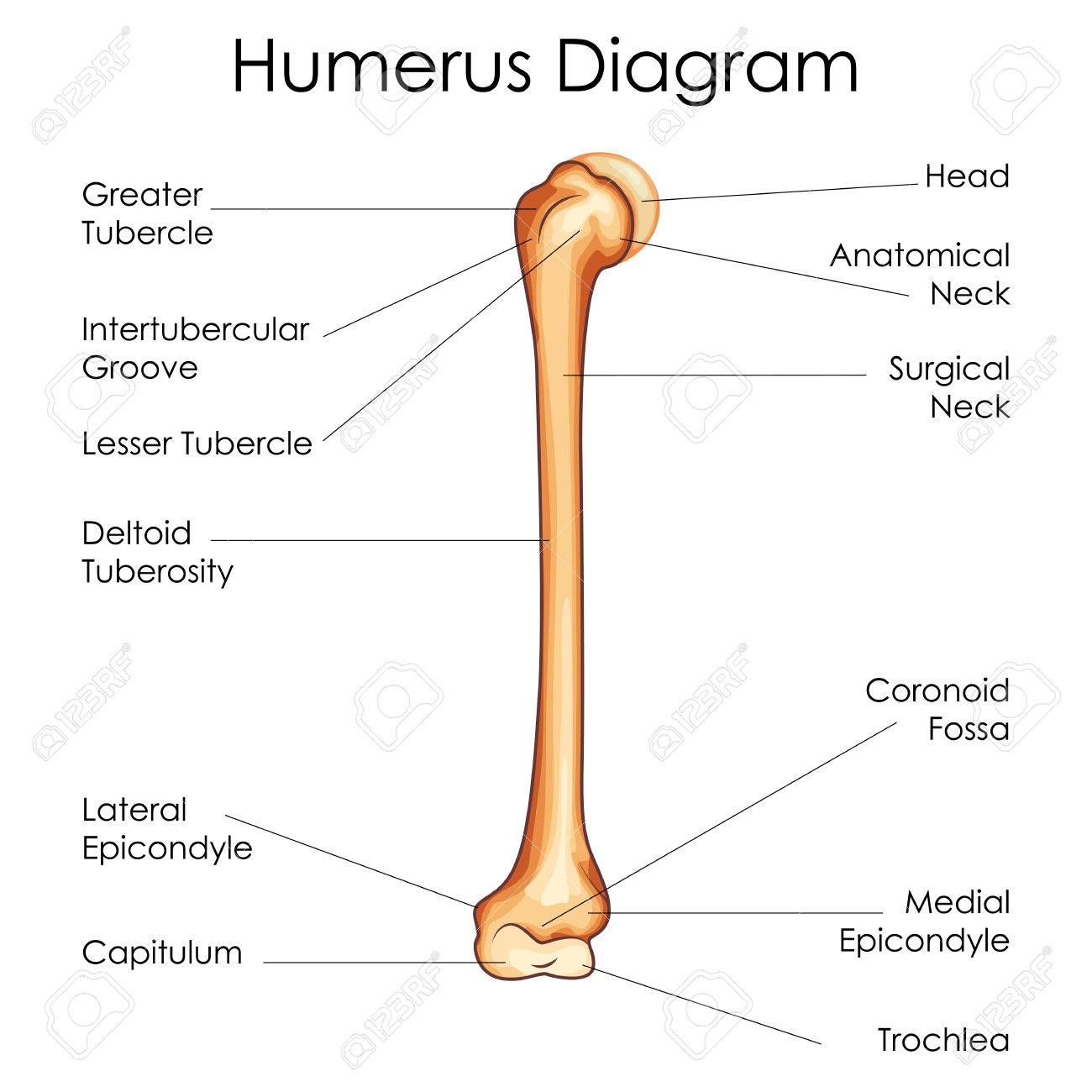 medical education chart of biology for humerus diagram. vector