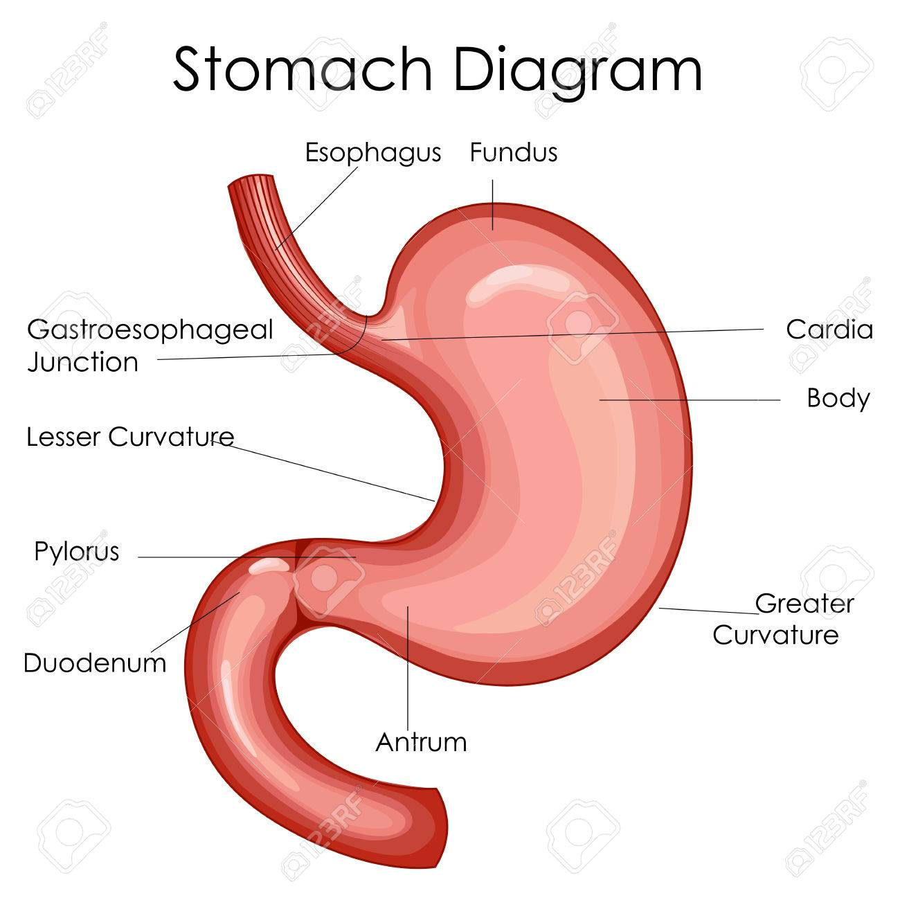medical education chart of biology for stomach diagram. vector