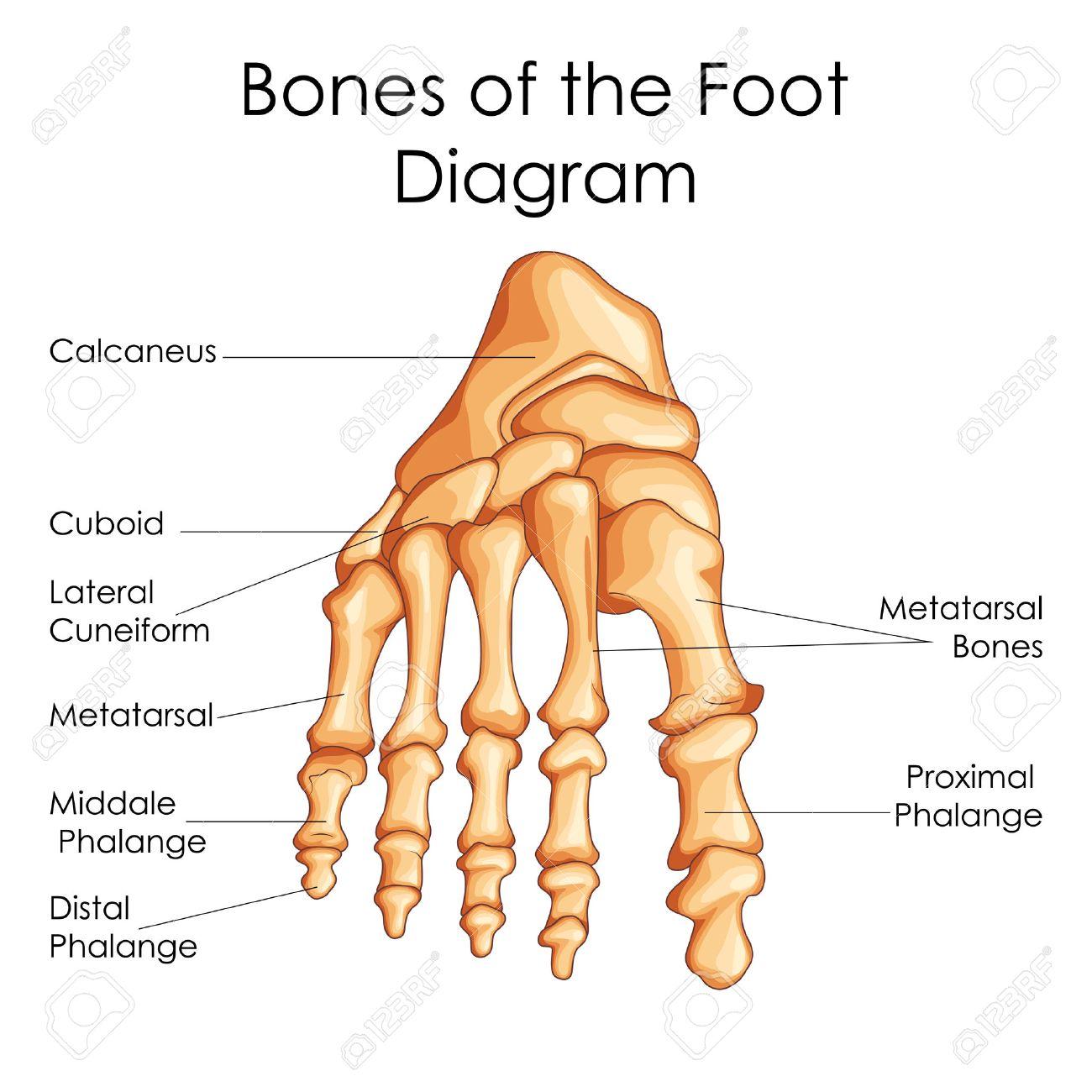 Fantastisch Diagramm Fuß Zeitgenössisch - Anatomie Und Physiologie ...