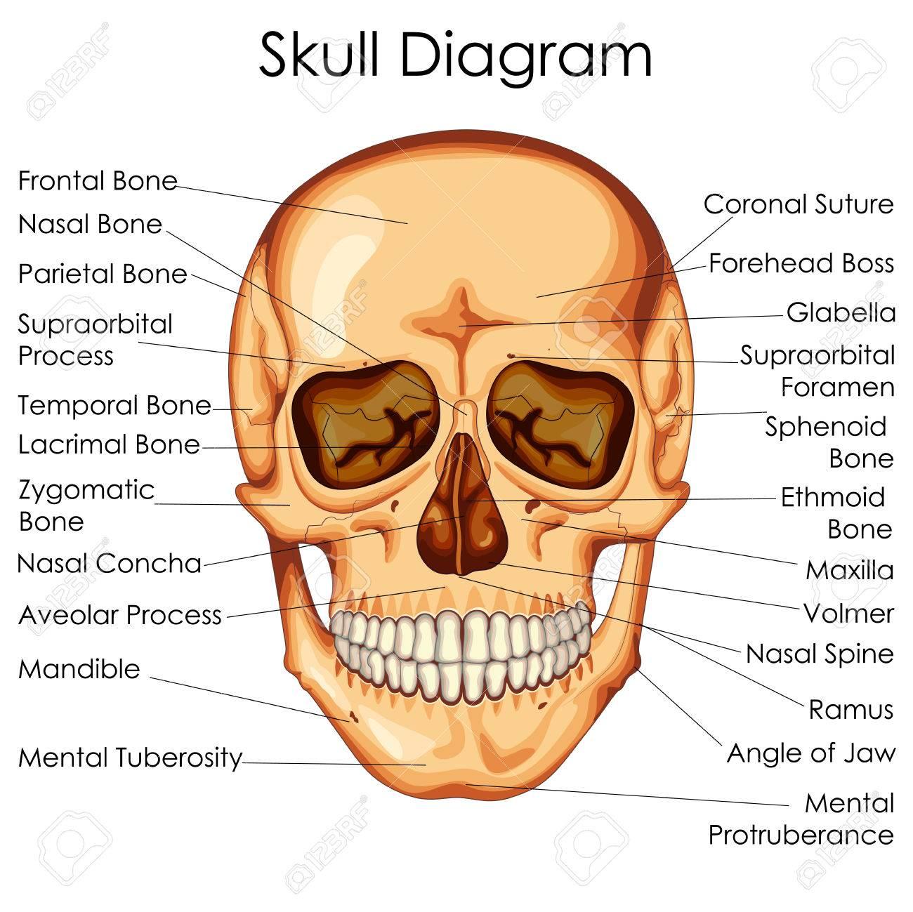Hermosa Diagrama De Cráneo Humano Con Etiquetas Composición ...