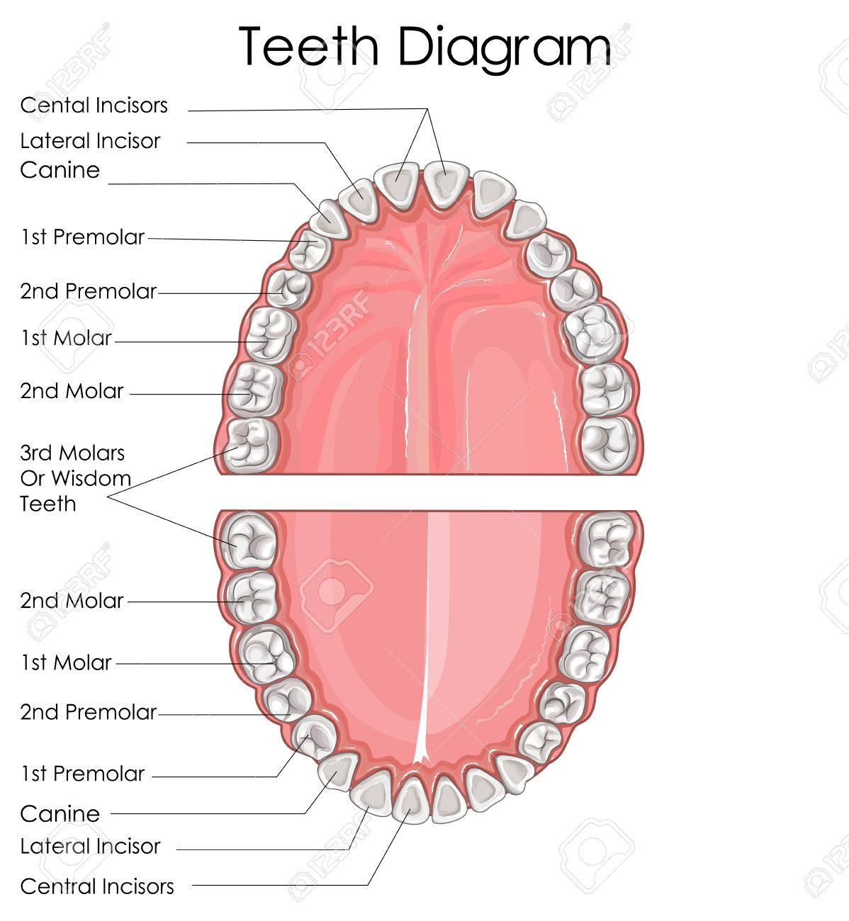 Diagram Of Teeth In Mouth - Data Wiring Diagrams •