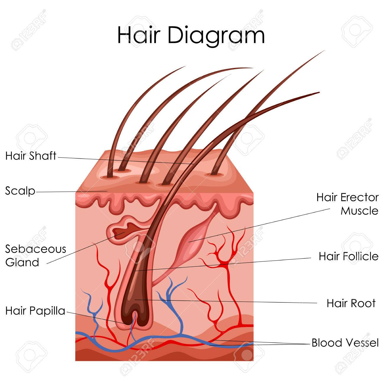 Diagram Hair Root - All Kind Of Wiring Diagrams •