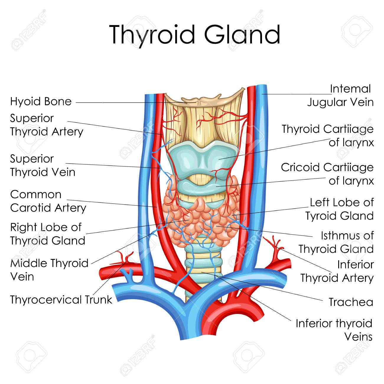 medical education chart of biology for thyroid gland diagram