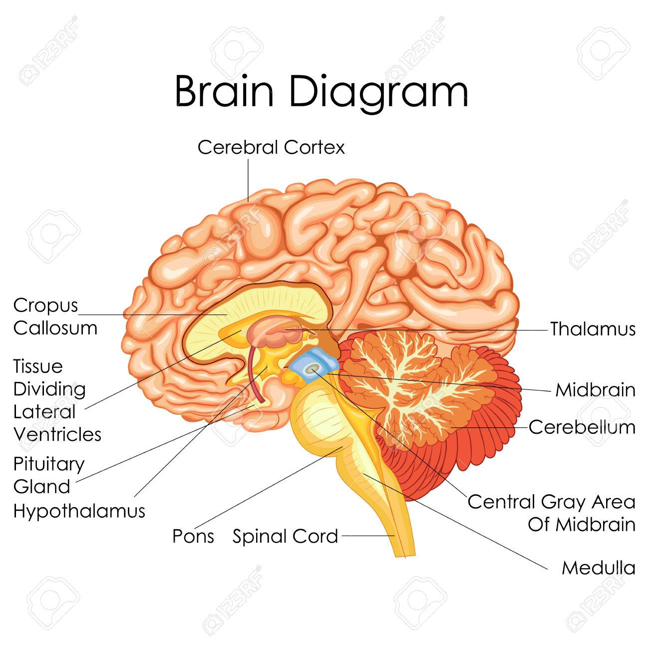 Brain Diagram Lateral - DIY Wiring Diagrams •