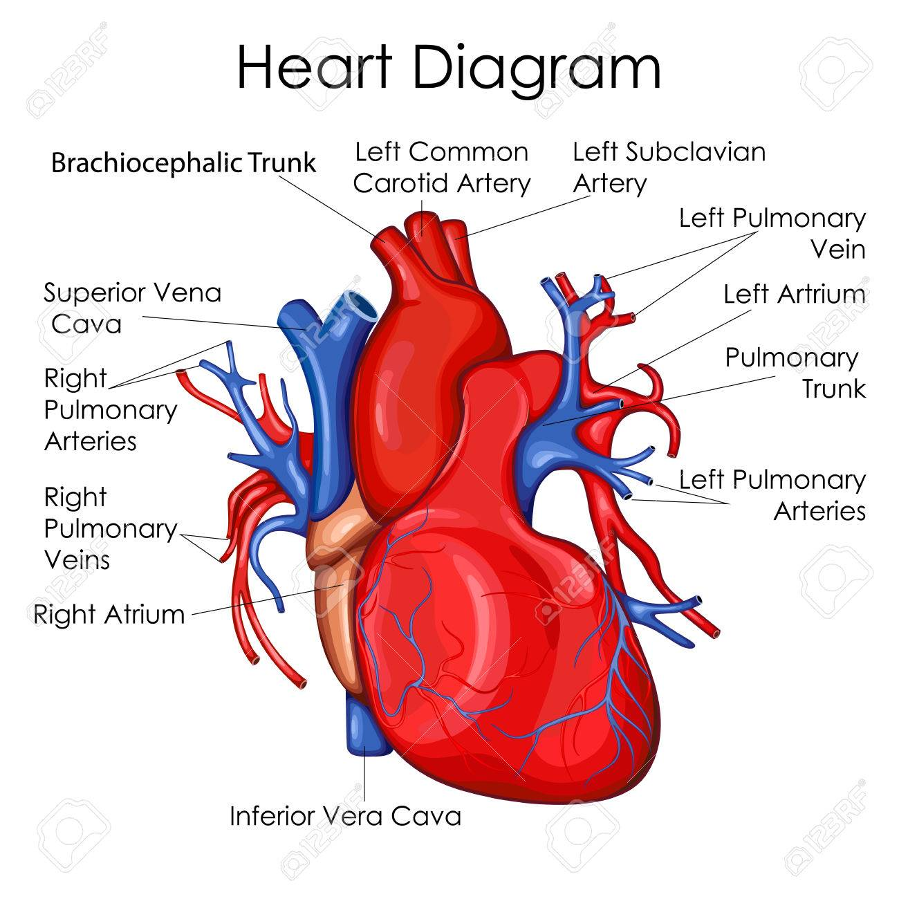 medical education chart of biology for heart diagram  vector illustration   stock vector - 79651874