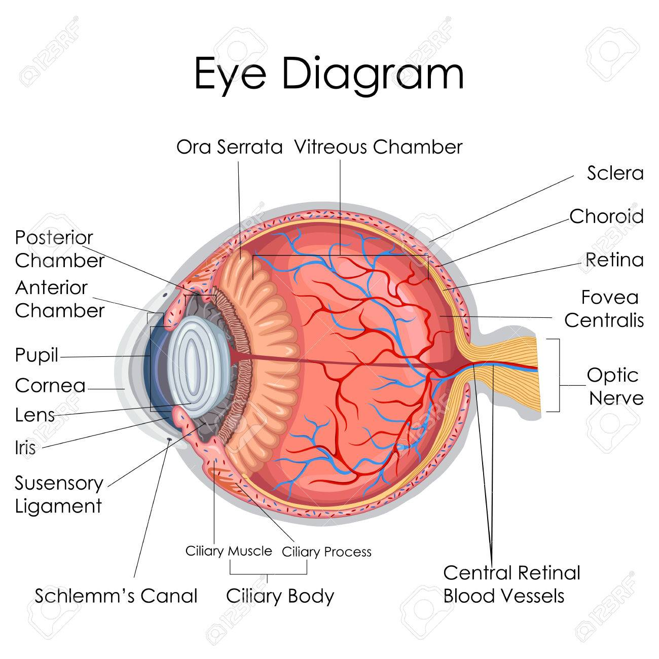 Perfecto Diagrama De Marcado De Ojo Humano Bosquejo - Anatomía de ...