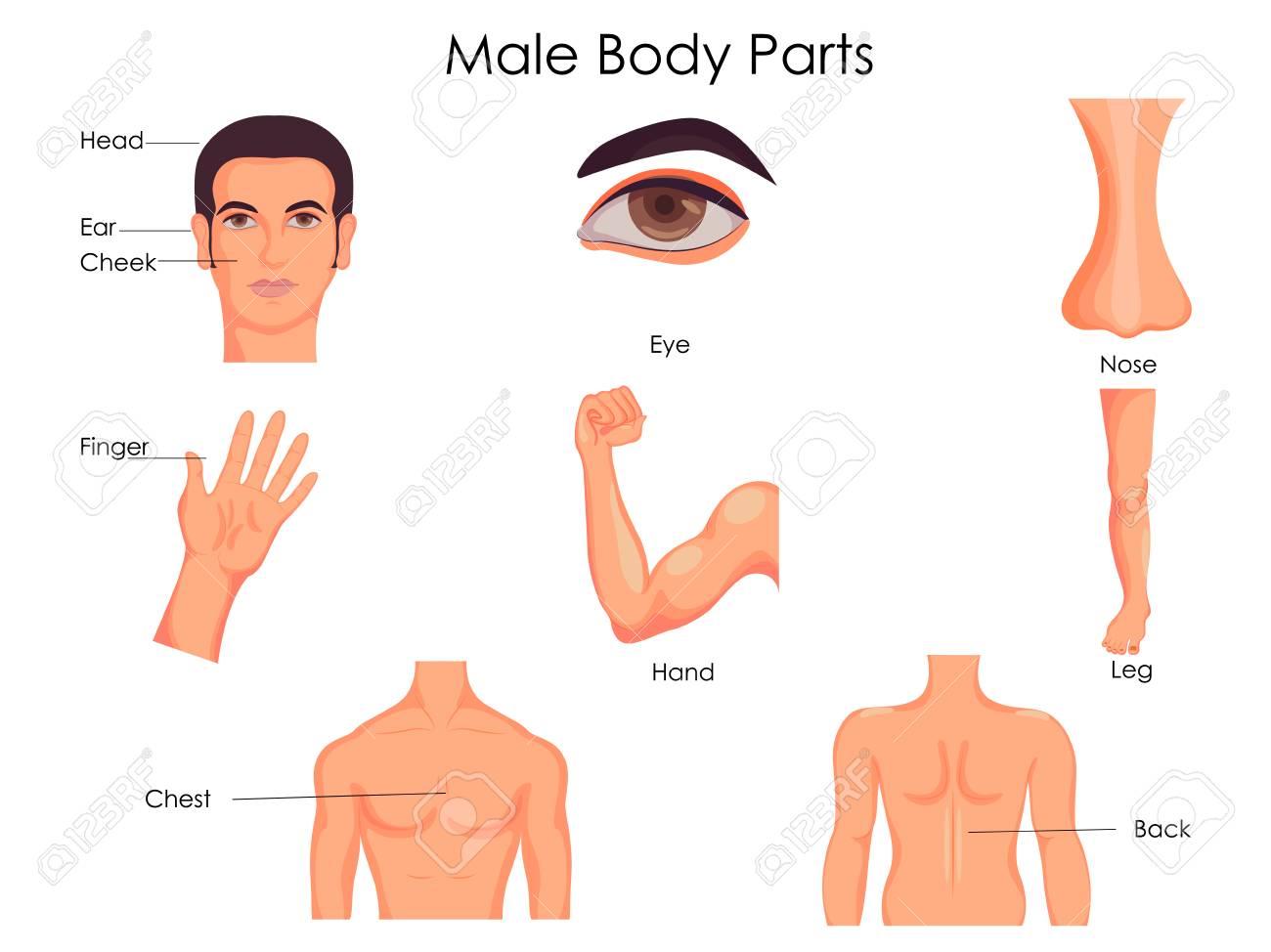 Medizinisches Ausbildungs-Diagramm Der Biologie Für Männliches ...