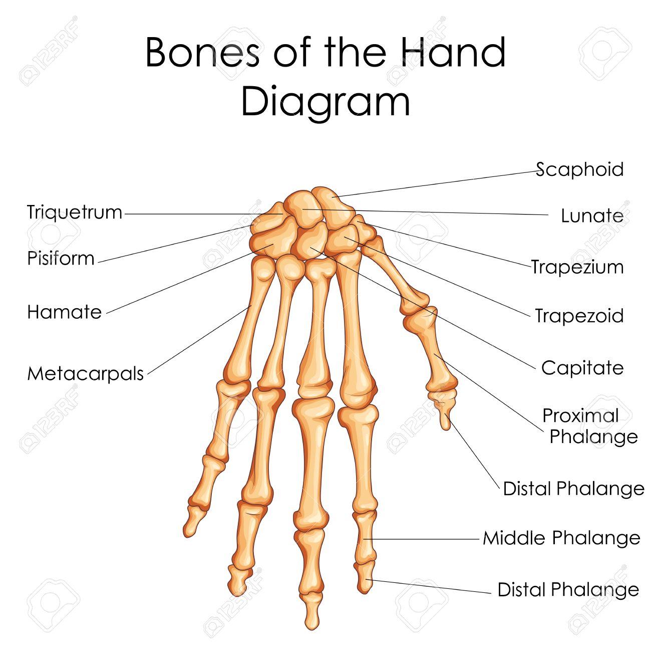 Carta De La Educación Médica De La Biología Para Los Huesos Del ...