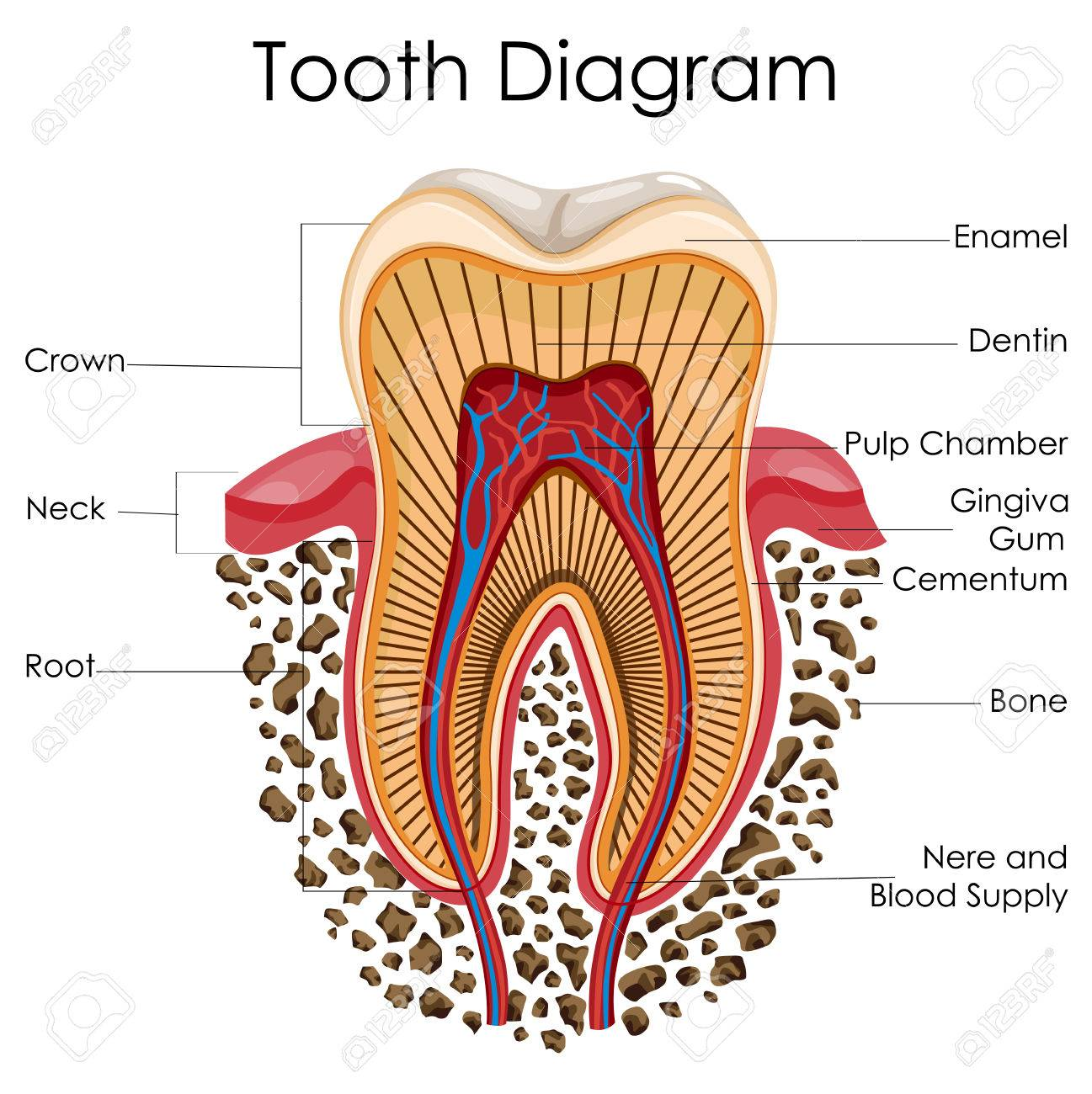 Diagram Of Tooth Anatomy 213lawi24