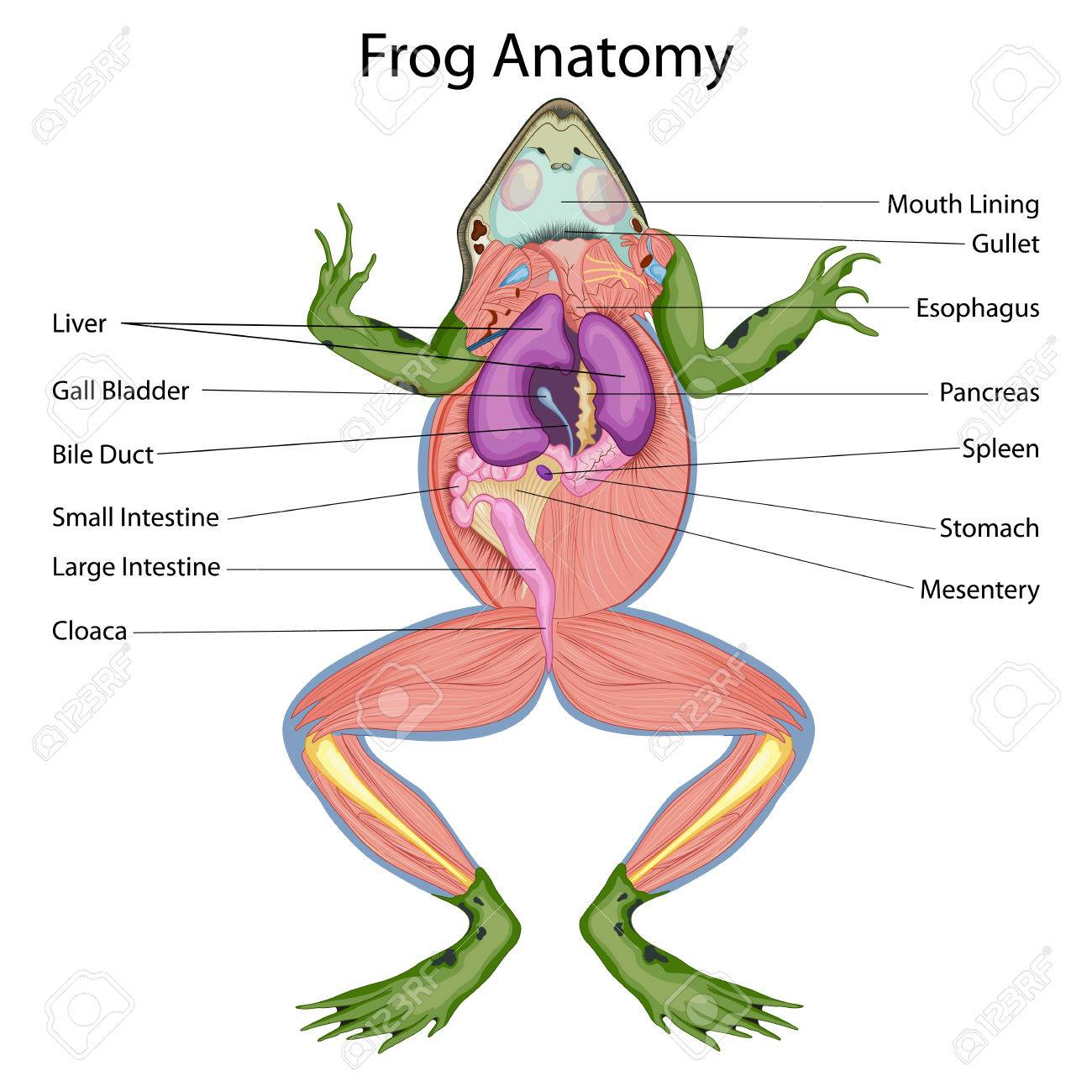 Hermosa Diagrama De La Anatomía Interna Rana Fotos - Imágenes de ...