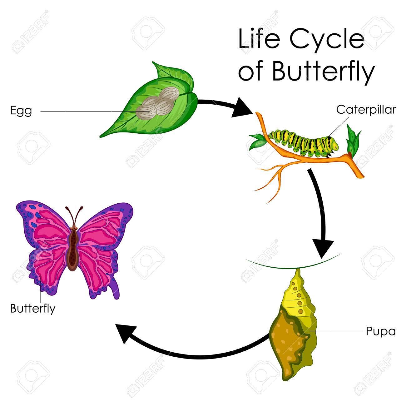 Bildungstabelle Der Biologie Für Den Lebenszyklus Des ...