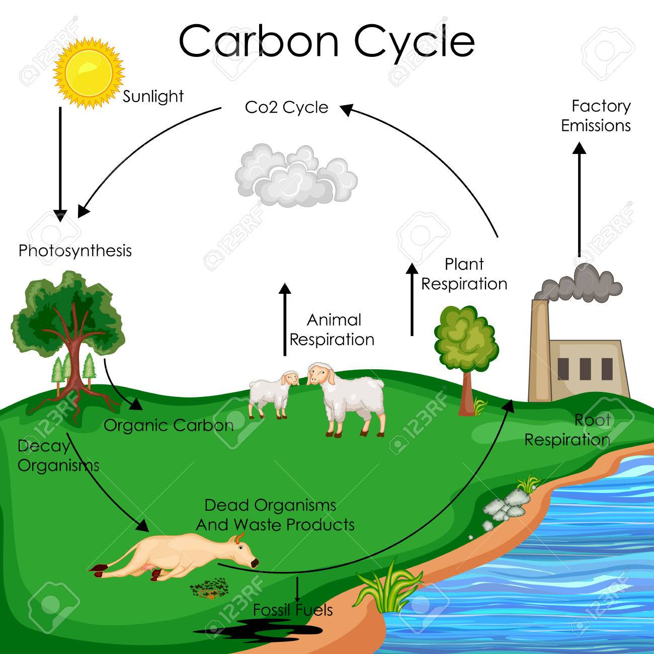 education chart of biology for carbon cycle diagram royalty free