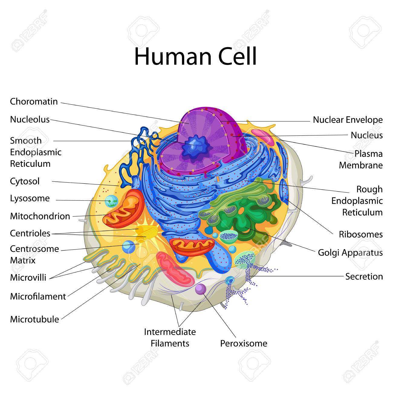 Education Chart of Biology for Human Cell Diagram - 80712764