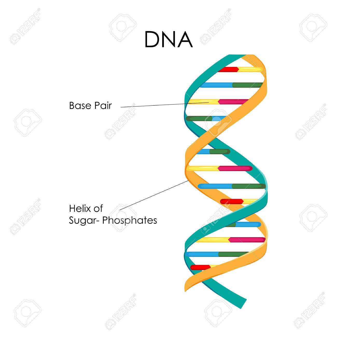 Education Chart Of Biology For Dna Structure Diagram Royalty Free