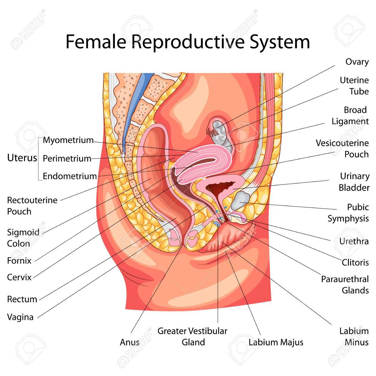 Bonito Diagrama De La Anatomía Del Sistema Reproductor Femenino ...