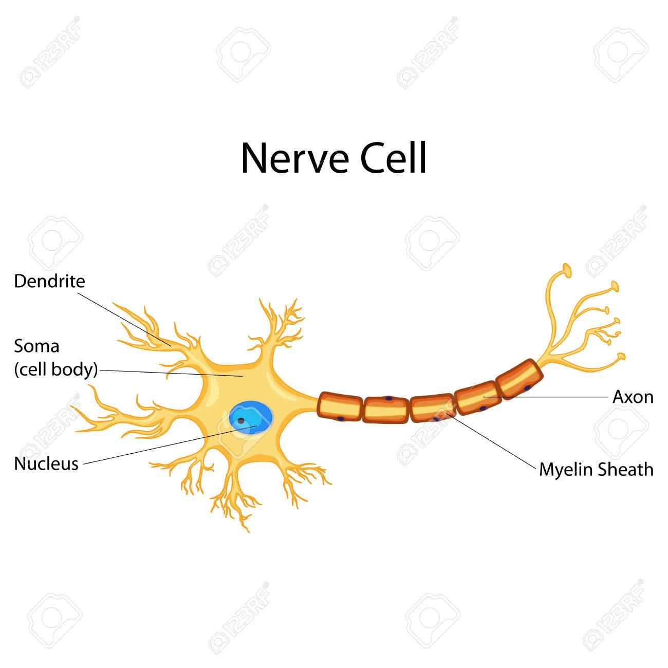 Biology Nerve Diagram Circuit Symbols Help Plant Cell Education Chart Of For Royalty Free Rh 123rf Com Labeled Animal