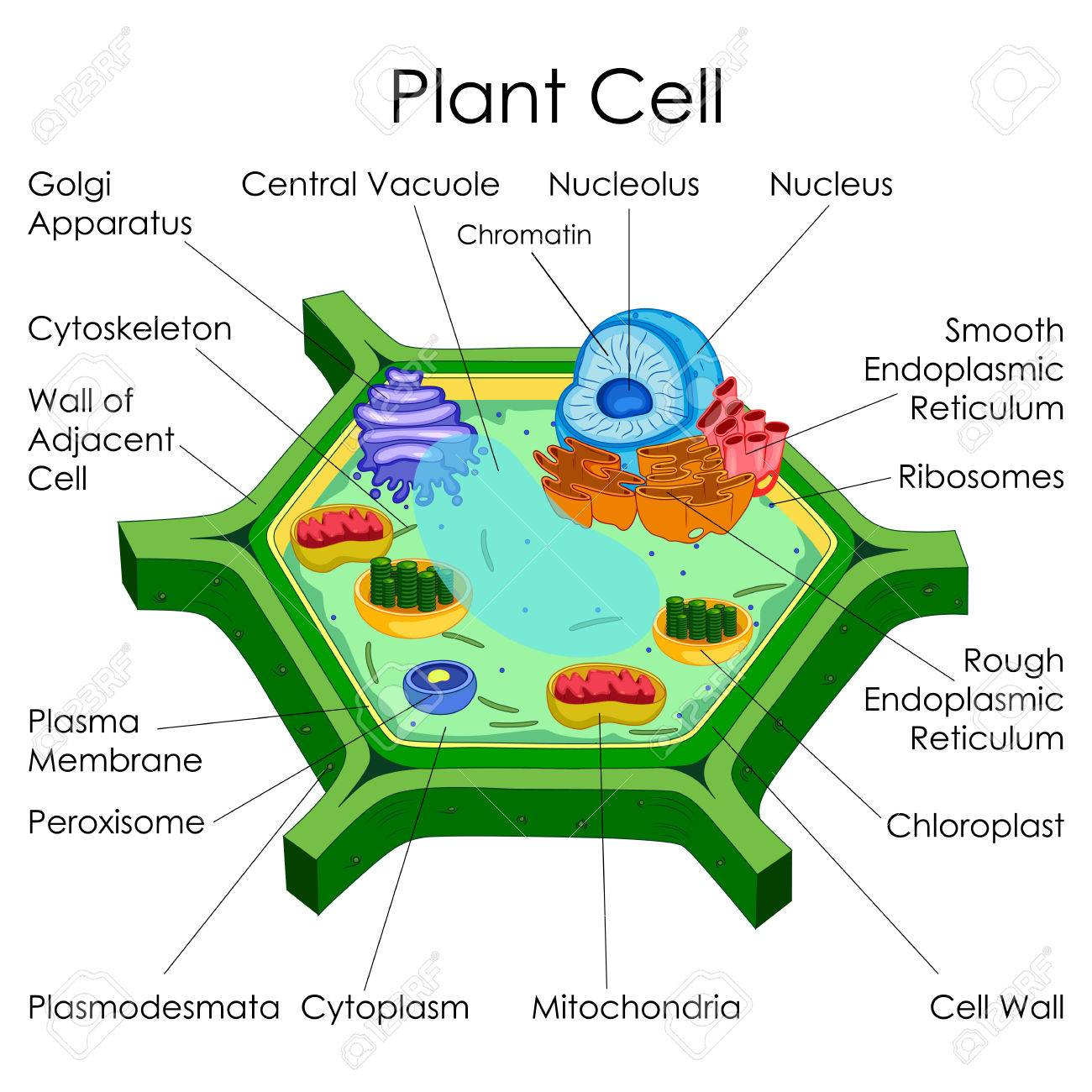 education chart of biology for plant cell diagram stock photo rh 123rf com plant cell diagram 5th grade plant cell diagram labeled