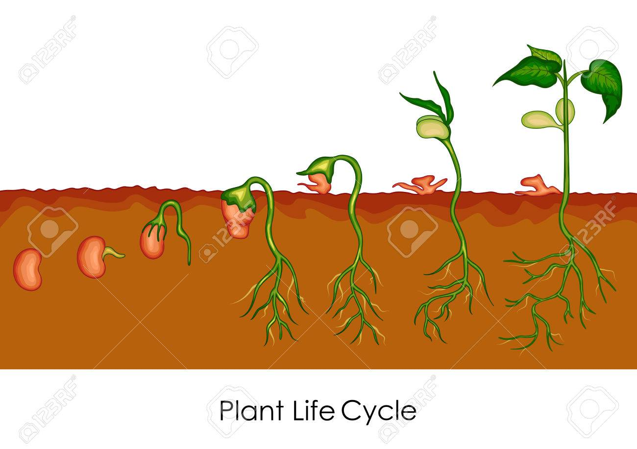Education Chart Of Biology For Plant Life Cycle Diagram