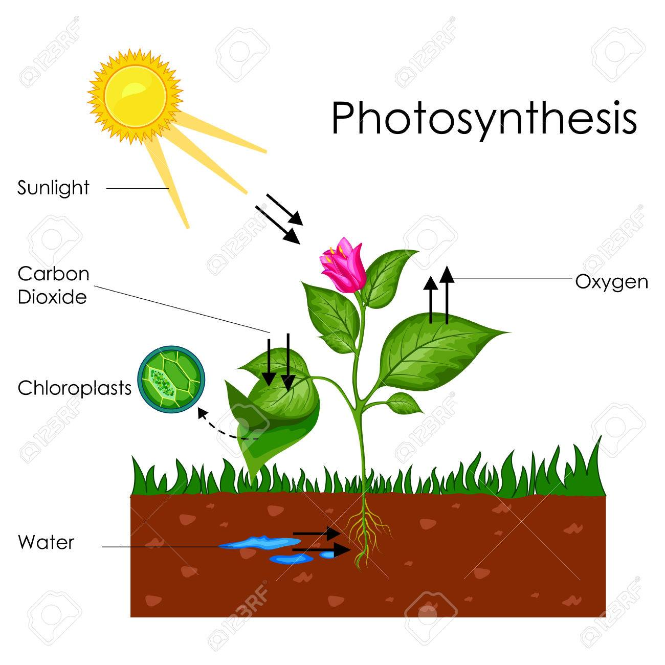 Education Chart Of Biology For Photosynthesis Process Diagram Stock Photo Picture And Royalty Free Image Image 80713897 By science and technology concepts middle school. education chart of biology for photosynthesis process diagram