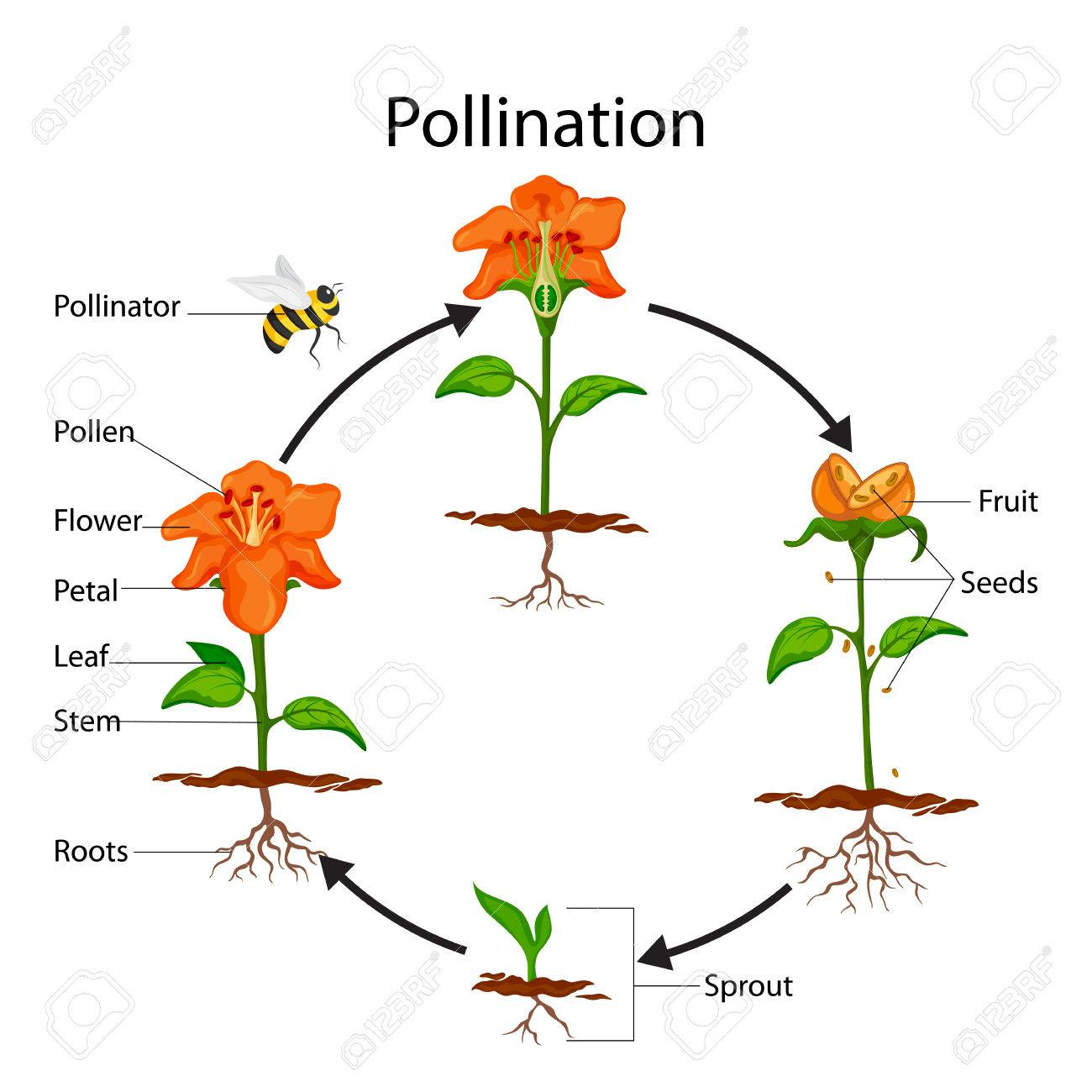 Education chart of biology for pollination process diagram stock education chart of biology for pollination process diagram stock photo 80713900 ccuart Images
