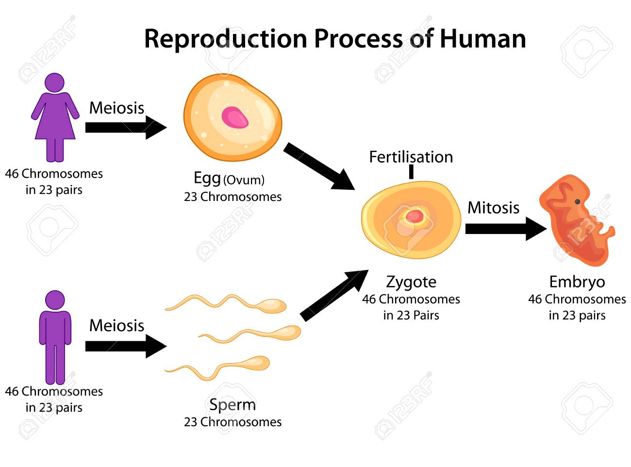 education chart of biology for reproduction process of human