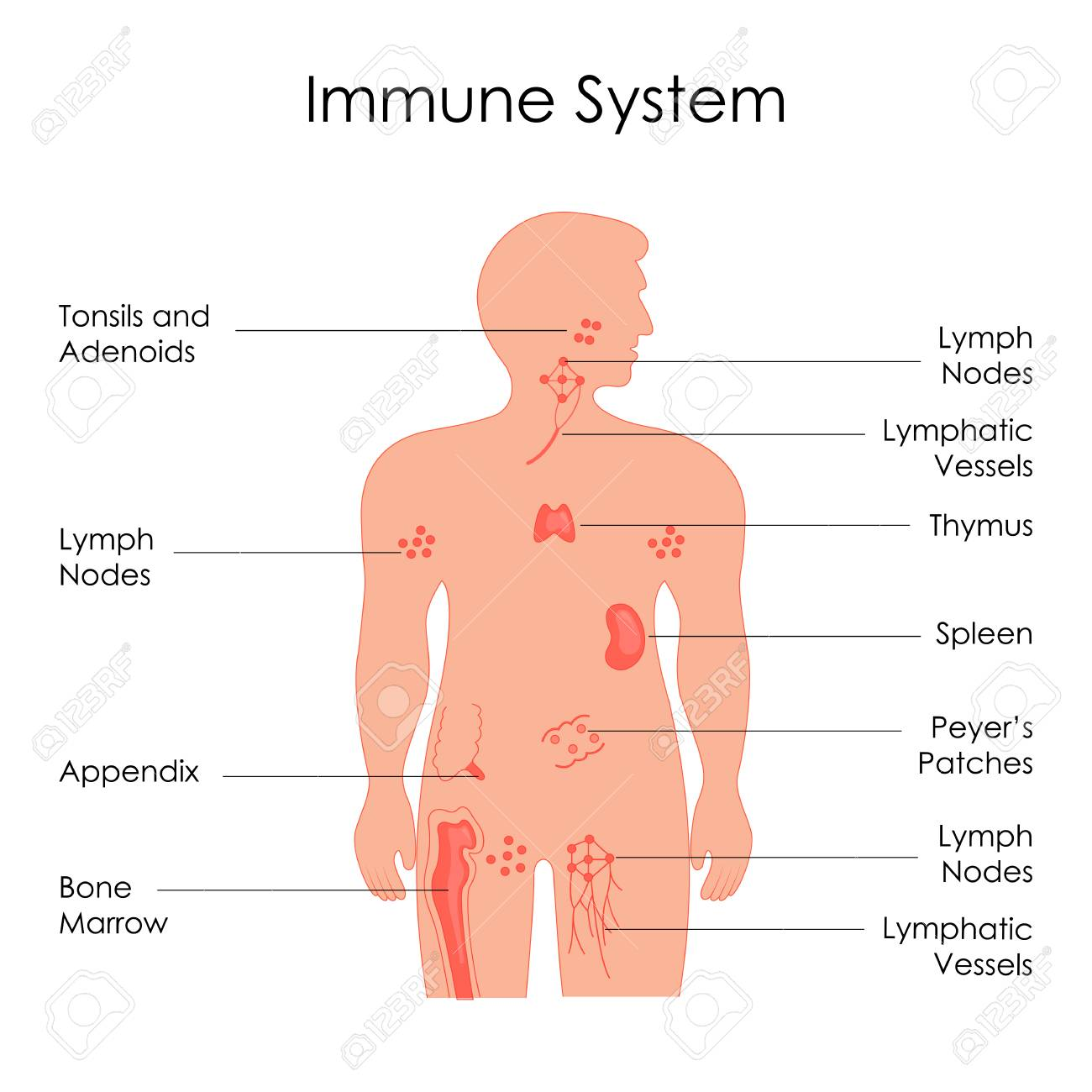 education chart of biology for immune system diagram in human Diagram of Integumentary Immune System education chart of biology for immune system diagram in human being stock photo 98918937