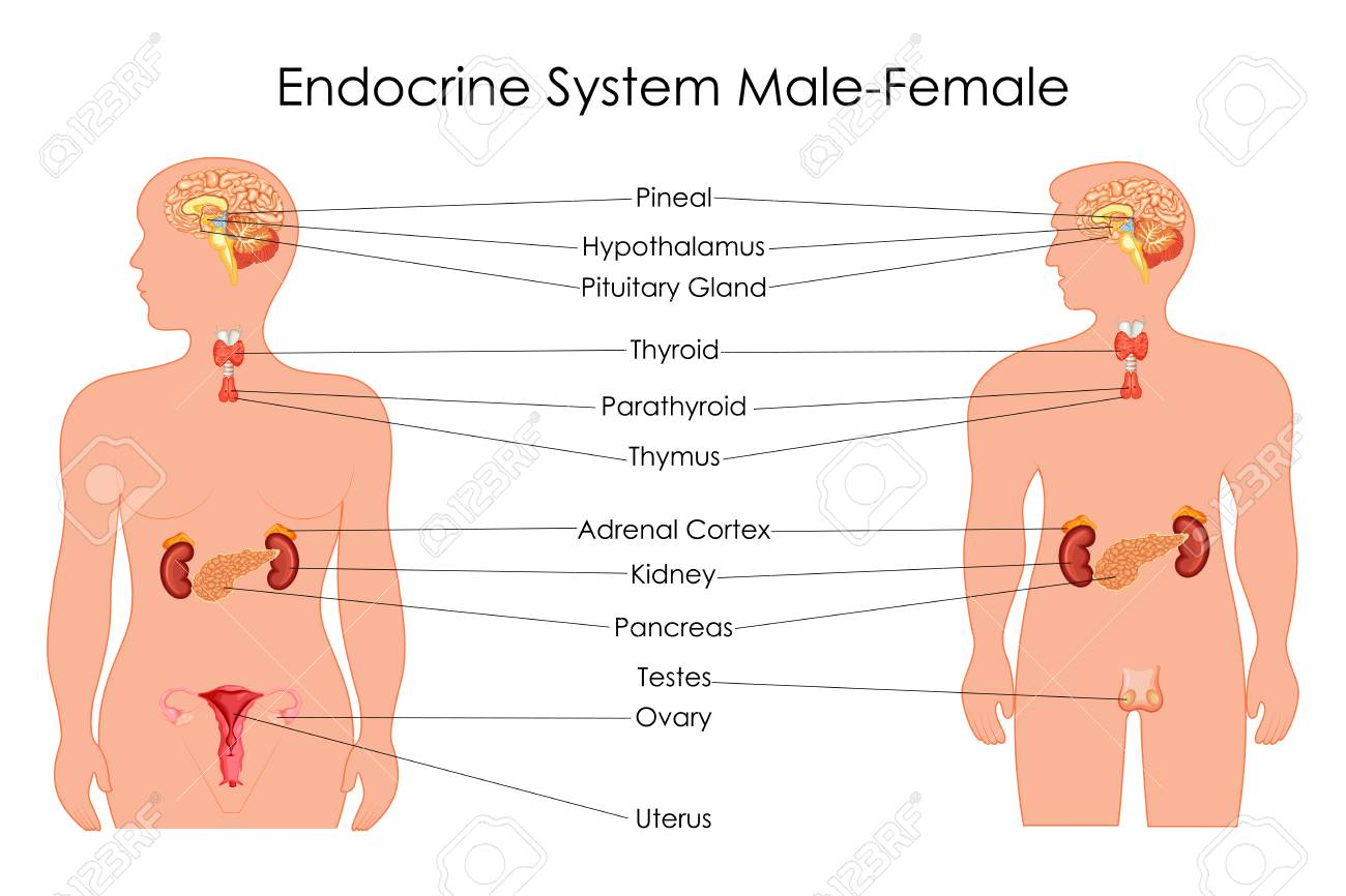 education chart of biology for endocrine system in male and female