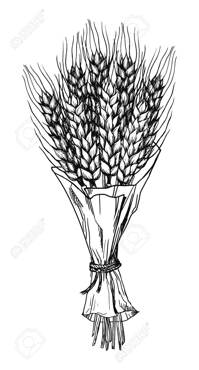 Bouquet Of Wheat Ears Hand Drawings Vector Illustration Sketch
