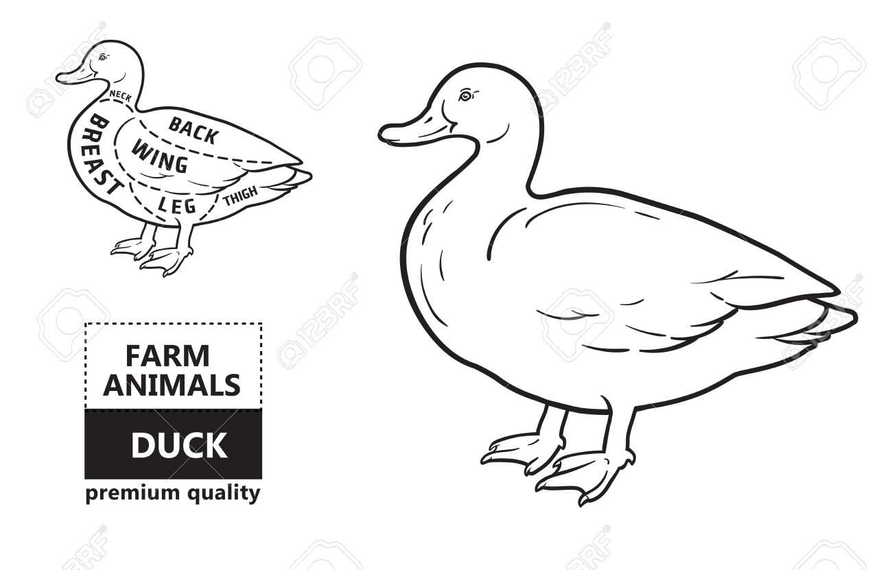typographic duck butcher cuts diagram scheme  premium guide meat label  stock vector - 99055824