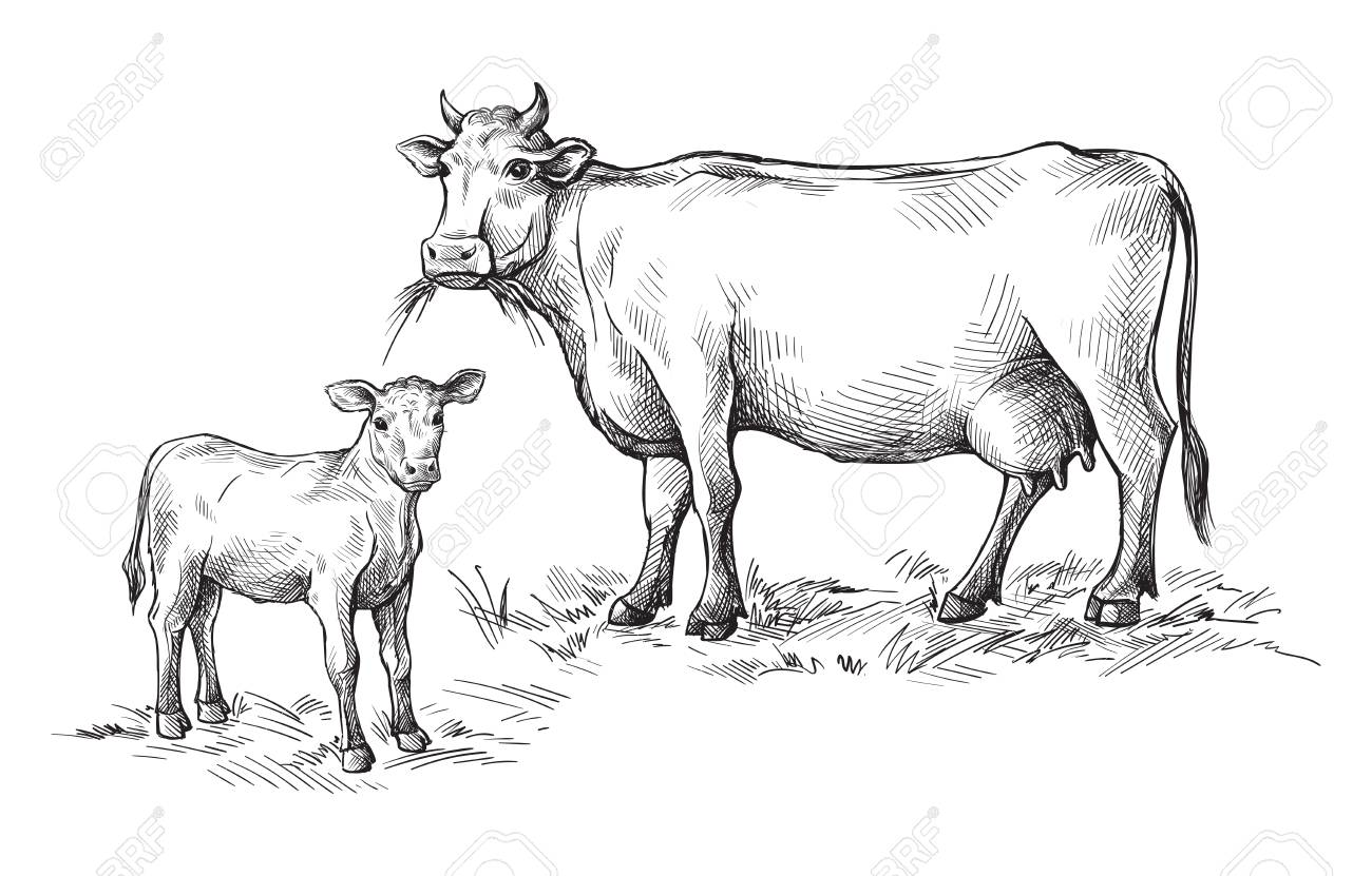 sketches of cows and calf drawn by hand livestock cattle animal