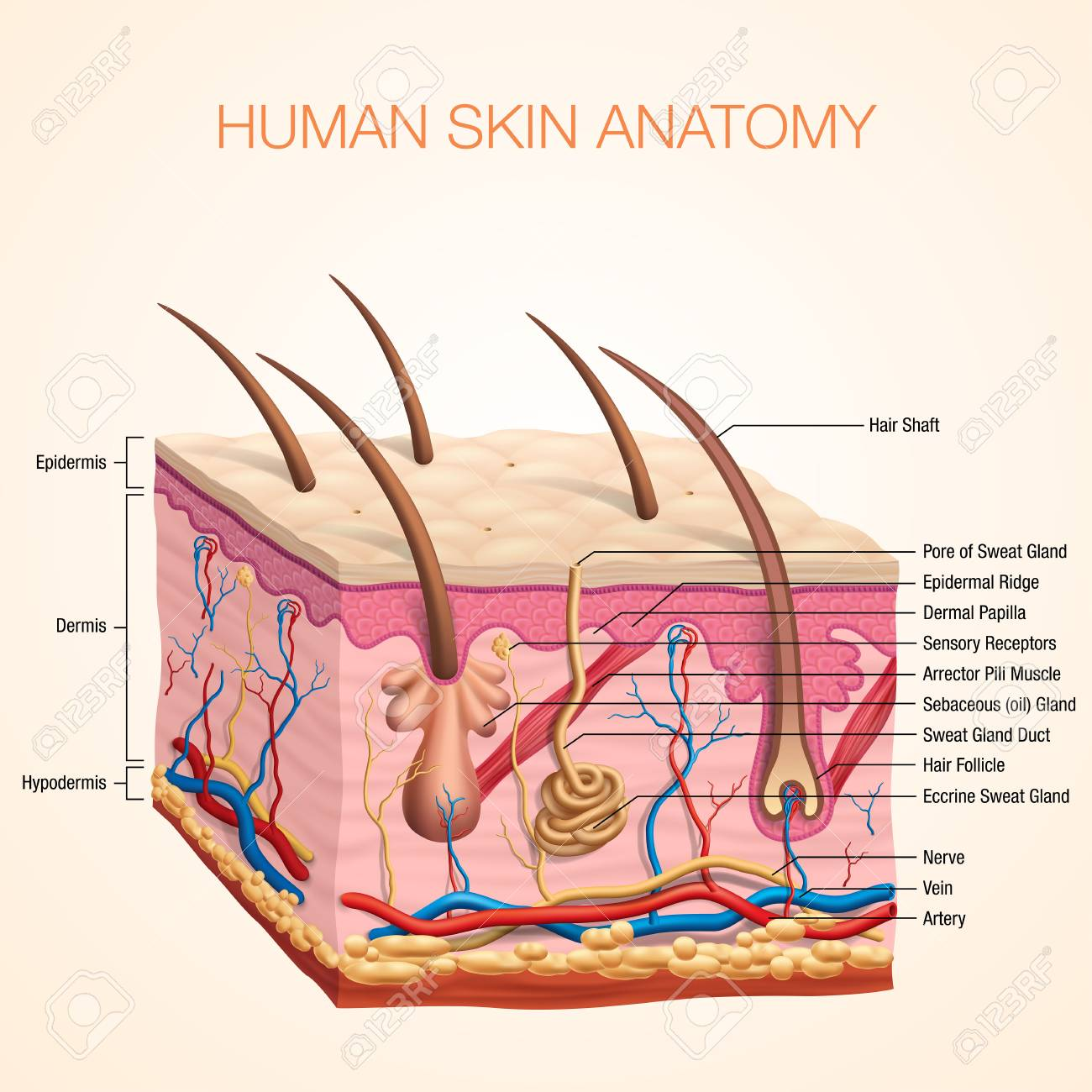 Human Body Skin Anatomy Vector Illustration With Parts Vein Artery