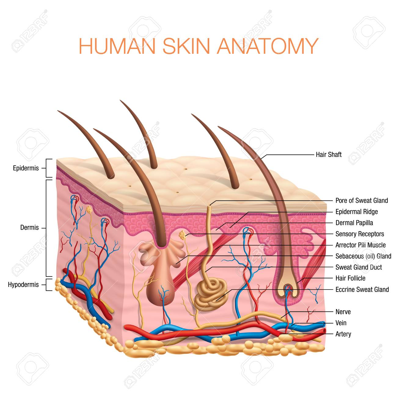 Human Skin Anatomy Vector Illustration Isolated Background Royalty