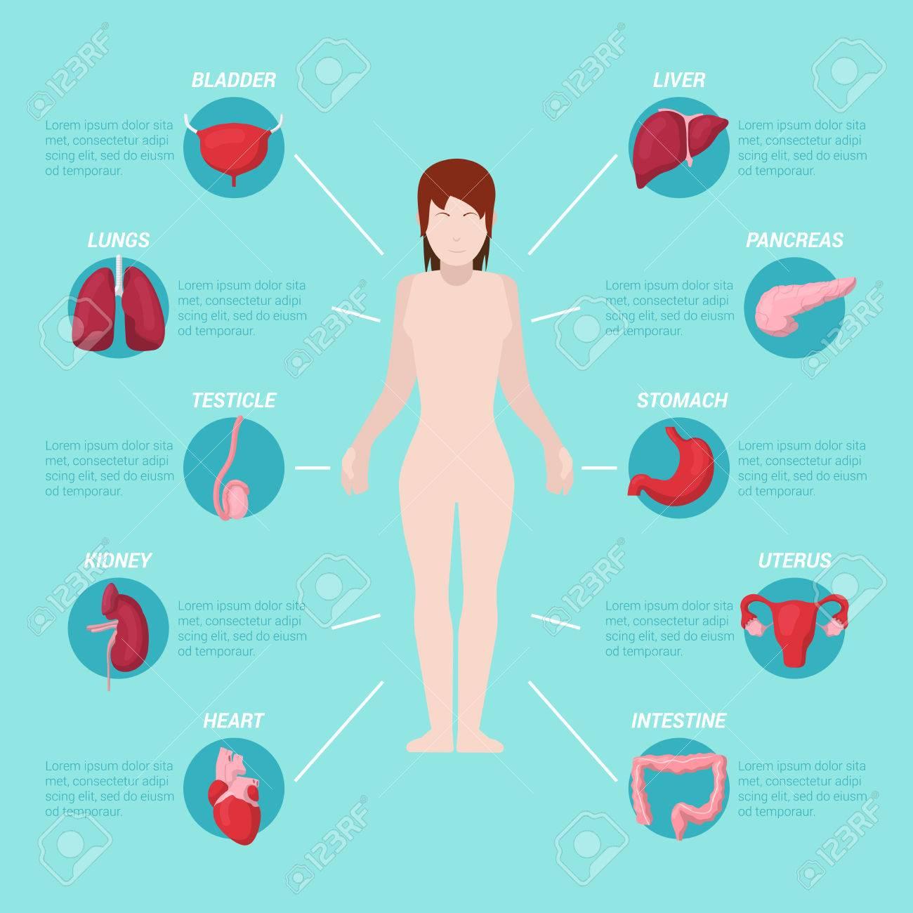 Anatomía Del Cuerpo Humano Esquema Médico Con Los órganos Internos ...