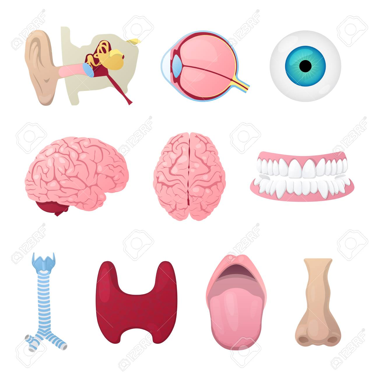 Anatomy Medical Poster With Head Organs Eye, Brain, Nose And ...