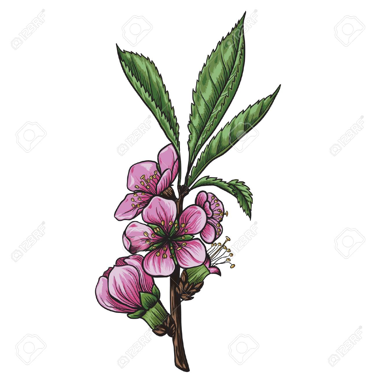 Branches Of Almond Tree With Flowers And Leaves Vector Illustration Royalty Free Cliparts Vectors And Stock Illustration Image 95932448