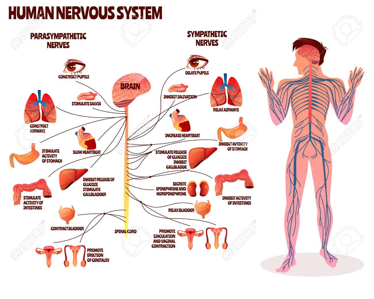 human nervous system vector illustration  cartoon design of man body with  brain parasympathetic and sympathetic