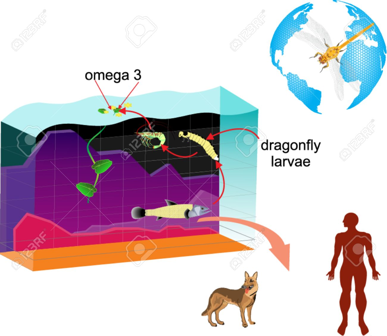 Layered vector infographic of pond ecosystem diagram dragonfly layered vector infographic of pond ecosystem diagram dragonfly fish pond man animals pooptronica Image collections