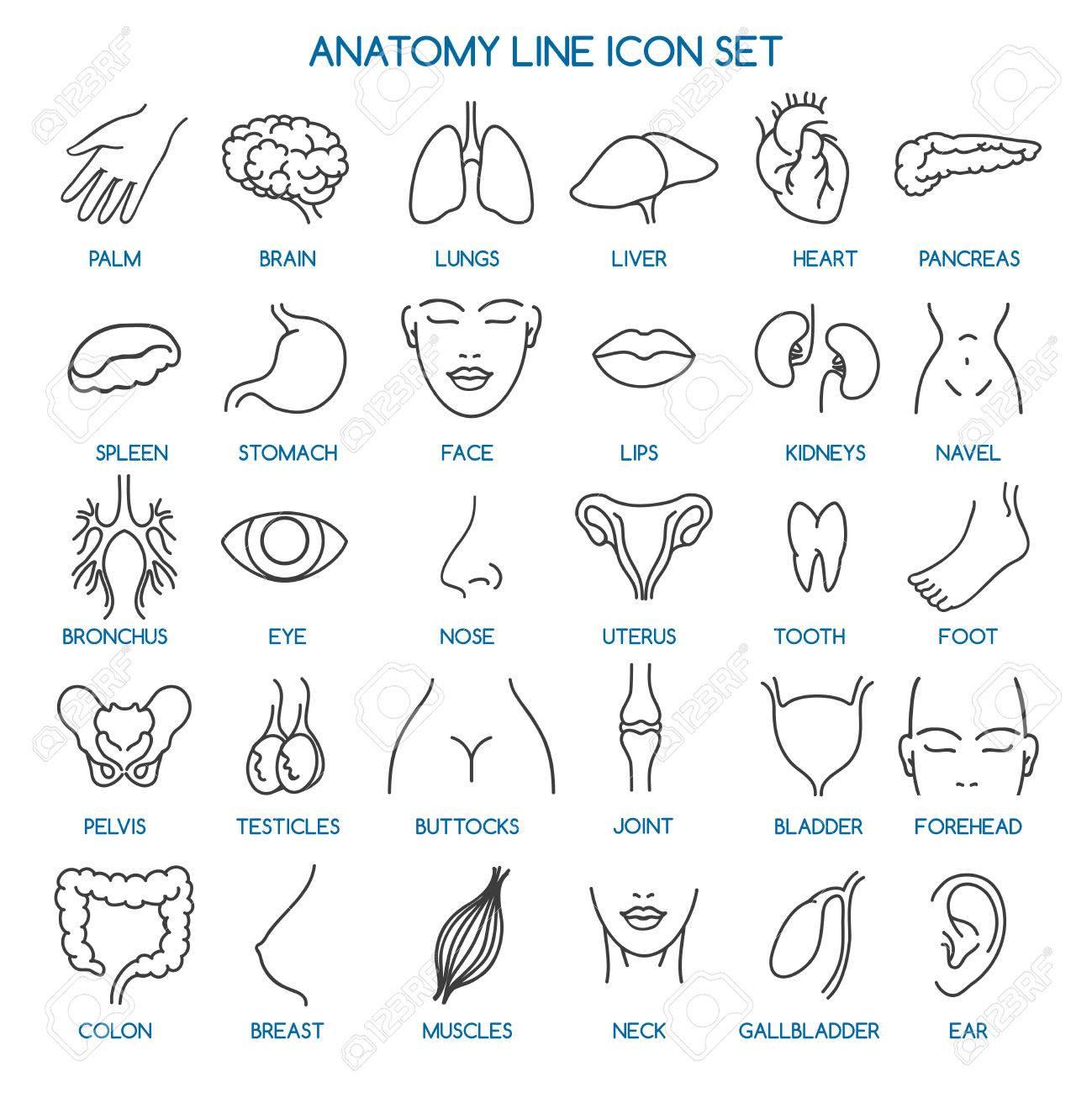 Anatomy Line Icons. Human Body Parts Line Icons And Human Anatomy ...