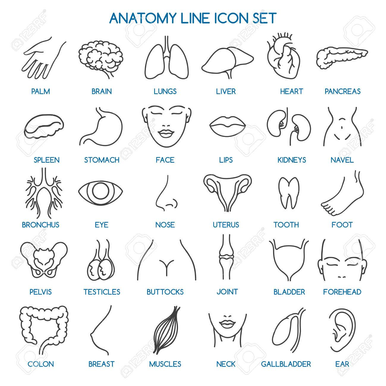 Iconos De Línea De Anatomía. Partes Del Cuerpo Humano Línea Iconos Y ...