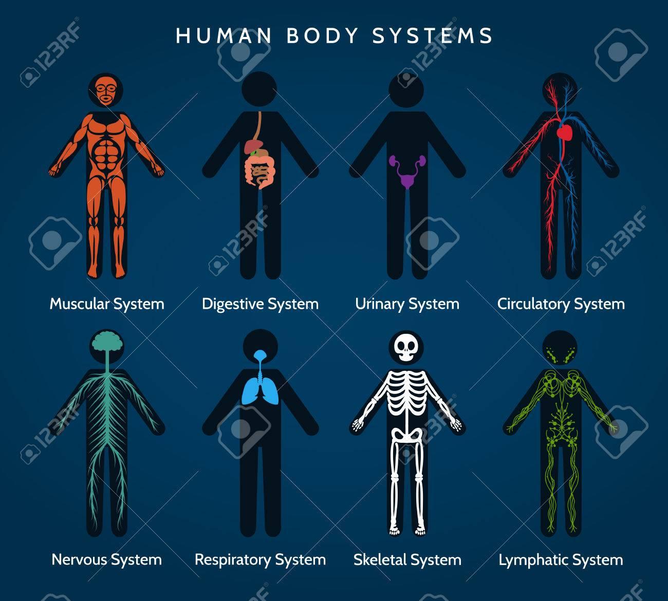 Anatomía Del Cuerpo Humano. Sistemas Corporales. Sistemas ...