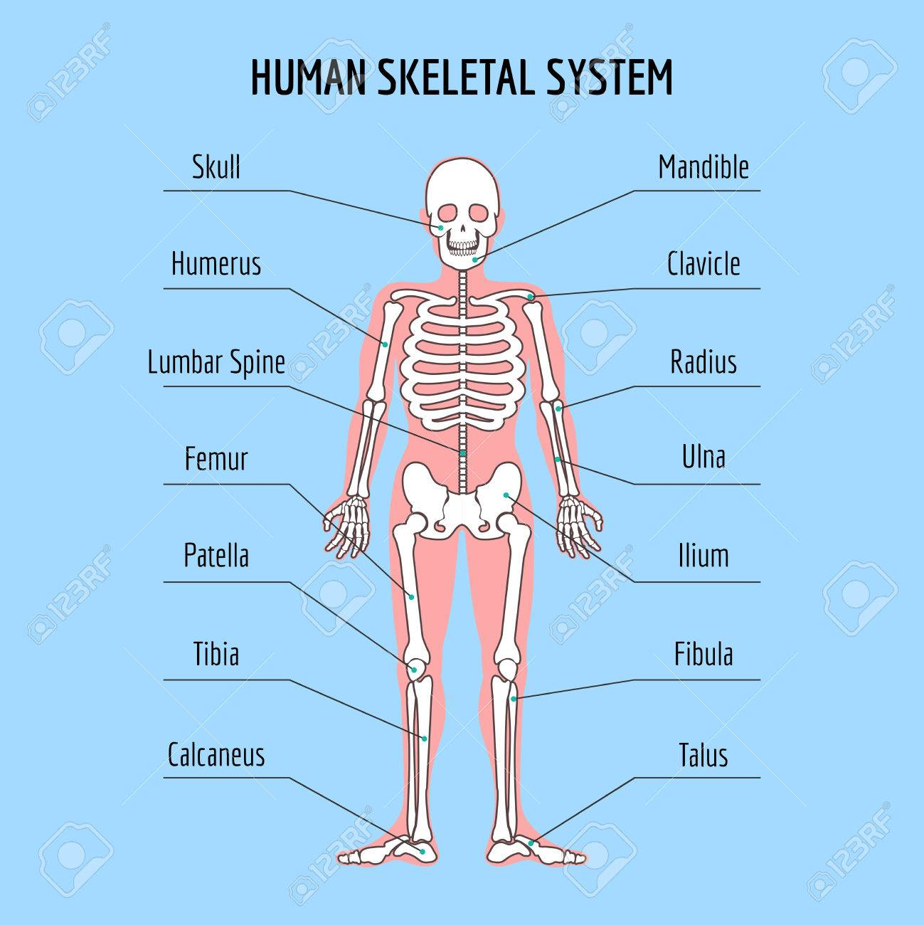 Human Skeletal System Vector Human Bone Anatomy Illustration